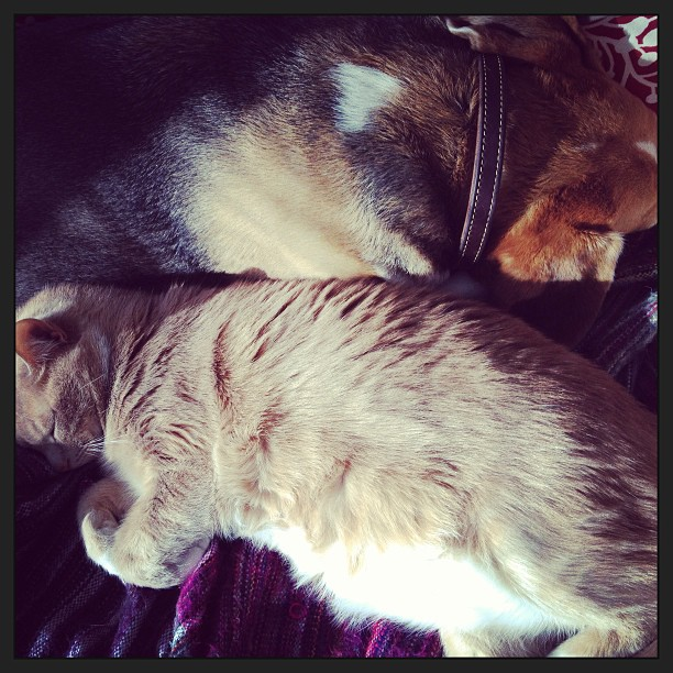 I love it when dogs and cats are best friends (these are the pets of the family I am nannying for)