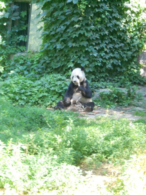 panda at the Beijing Zoo last summer